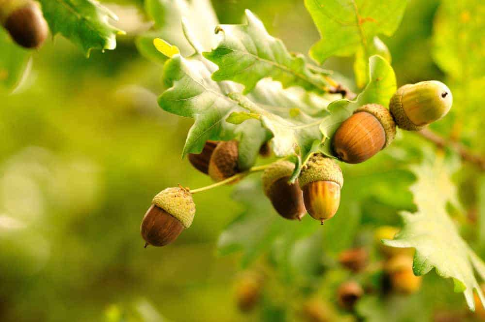 Acorns growing on an acorn tree