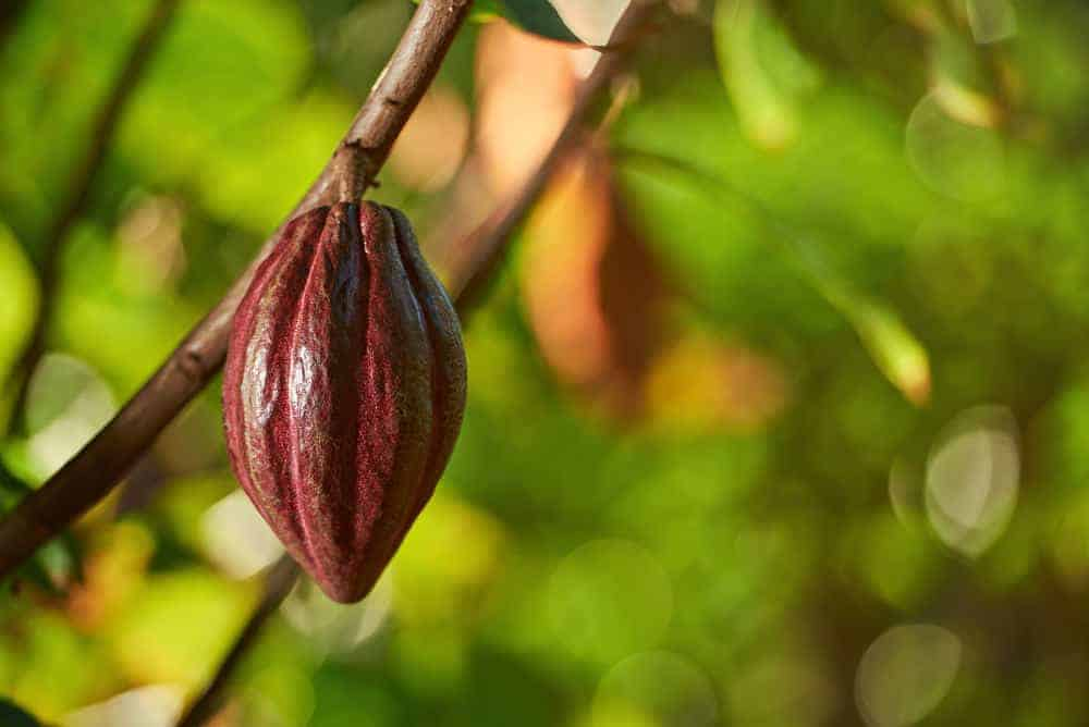 Cacao growing on a tree