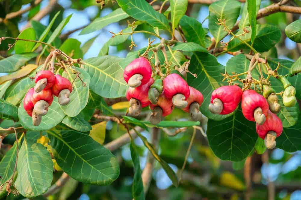 Cashews growing on a tree