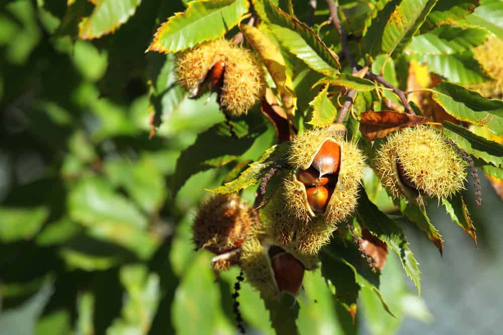 Chestnuts growing on a chestnut tree