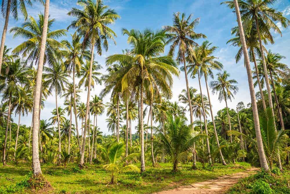 Coconut tree farm