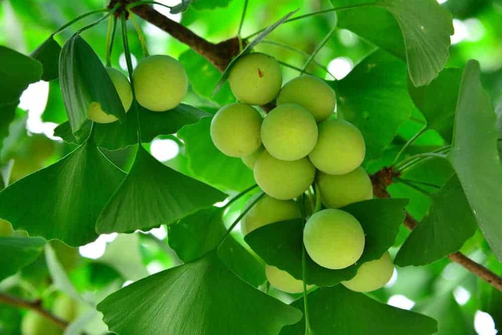 Ginkgo nut tree