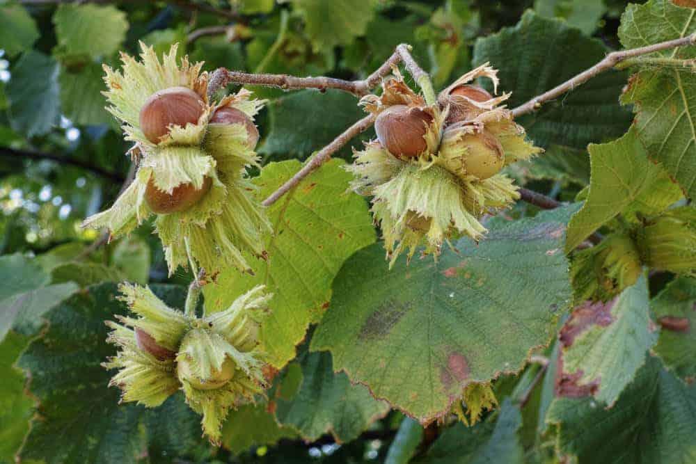 Hazelnuts growing on a tree