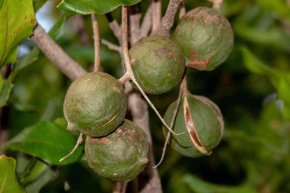 Macadamia nuts growing on a tree