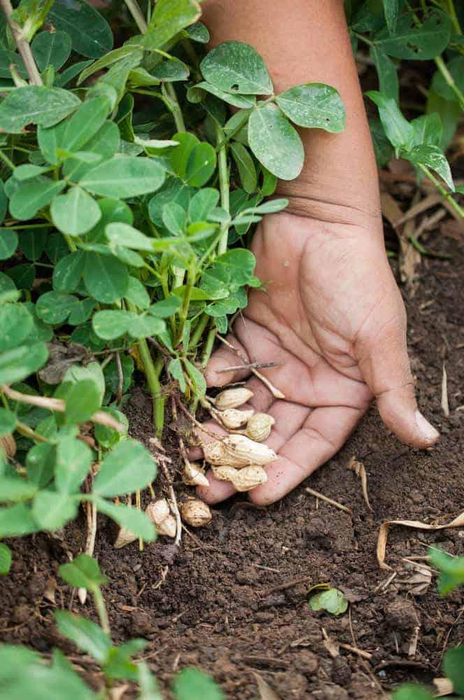 Peanuts growing