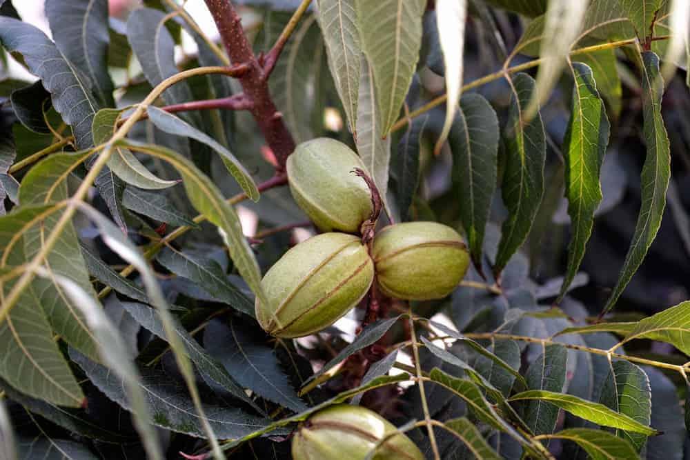 Pecans growing