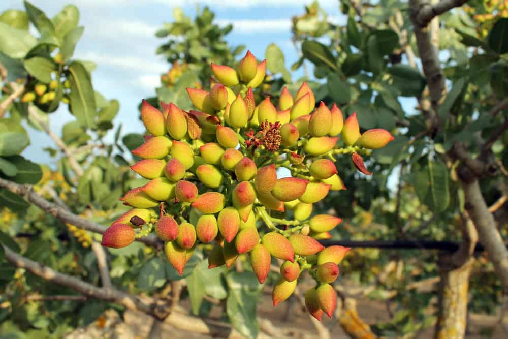 Pistachio nuts growing on a tree