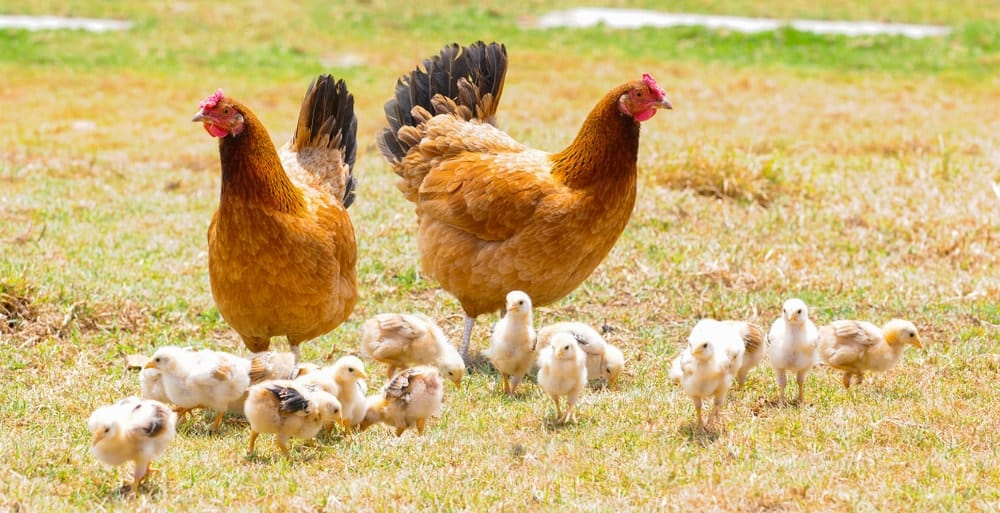 A pair of chickens and a brood of chicks free-roaming on grass.