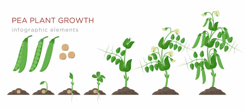Pea plant growth stages from seed to crop