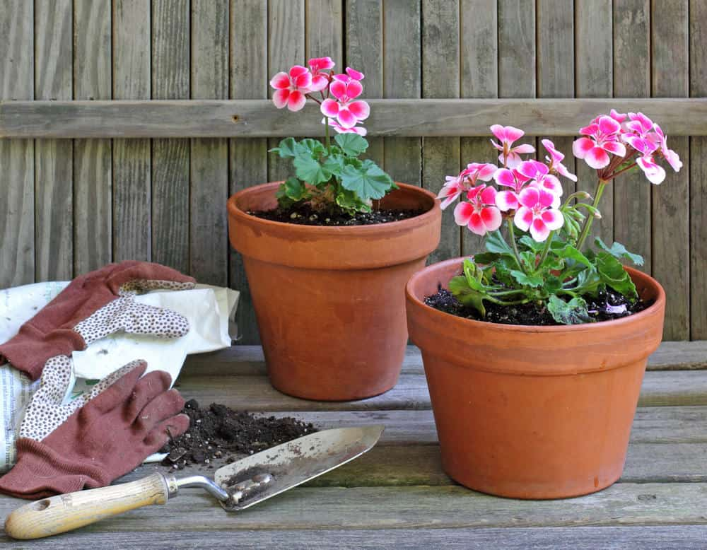 Geraniums as house plants in a pot
