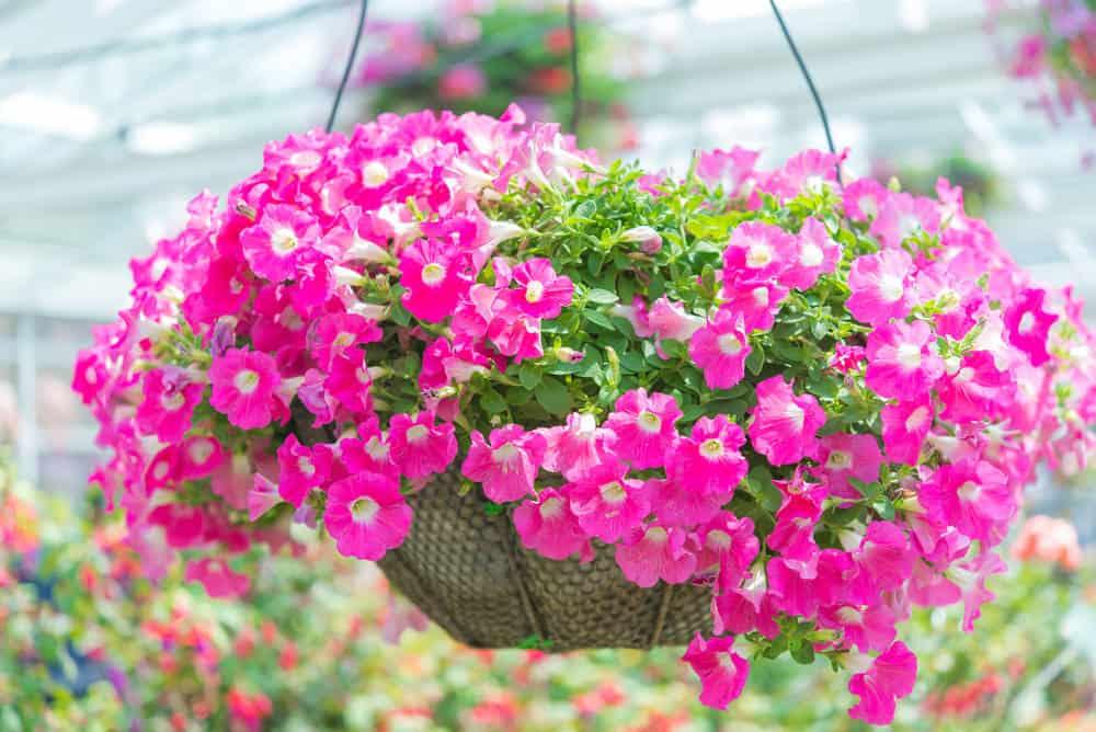 Hanging basket with pink petunias