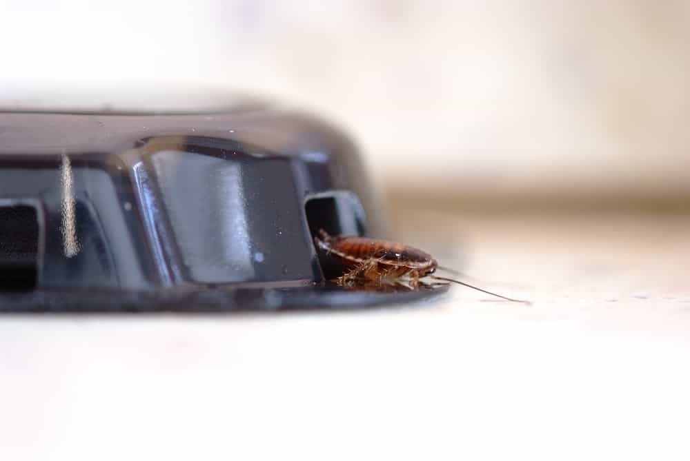 A cockroach crawling out of a poisoned trap.