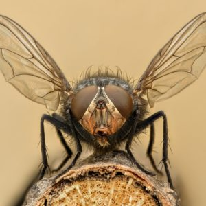 Fruit flies are aggressive pests.