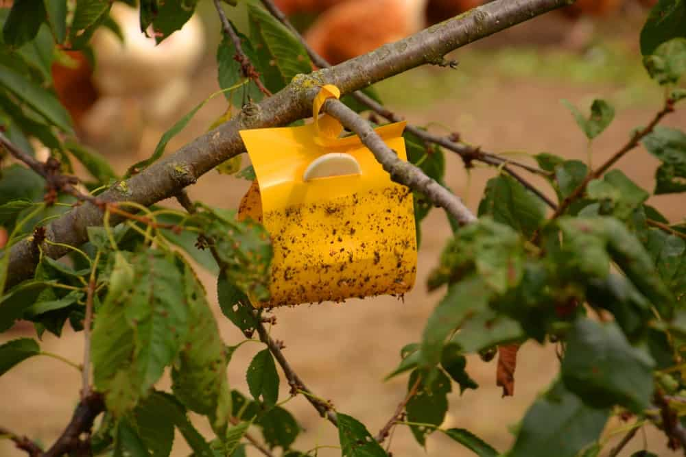 A bright yellow sticky insect trap installed on a tree.