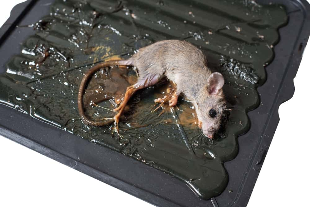 A mouse caught in a sticky trap.