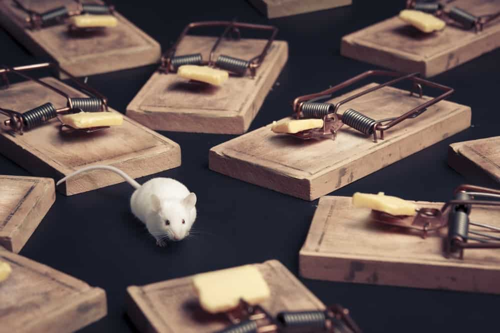 A mouse in the middle of several mouse traps.