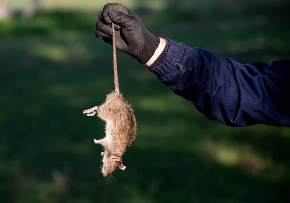 A gloved hand carrying a dead mouse by the tail.