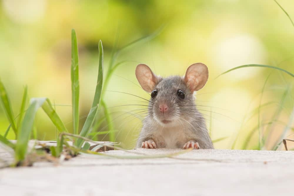 A mouse about to enter the house from the garden.