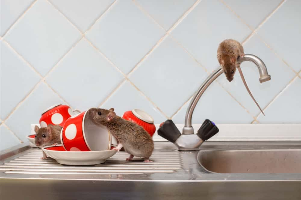 Three house mice scavenging on the sink with dirty dishes.