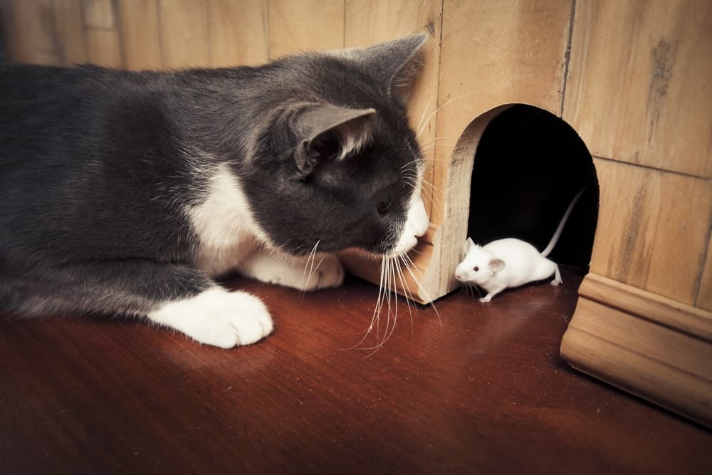 A house cat hunting the white mice living in the wall.