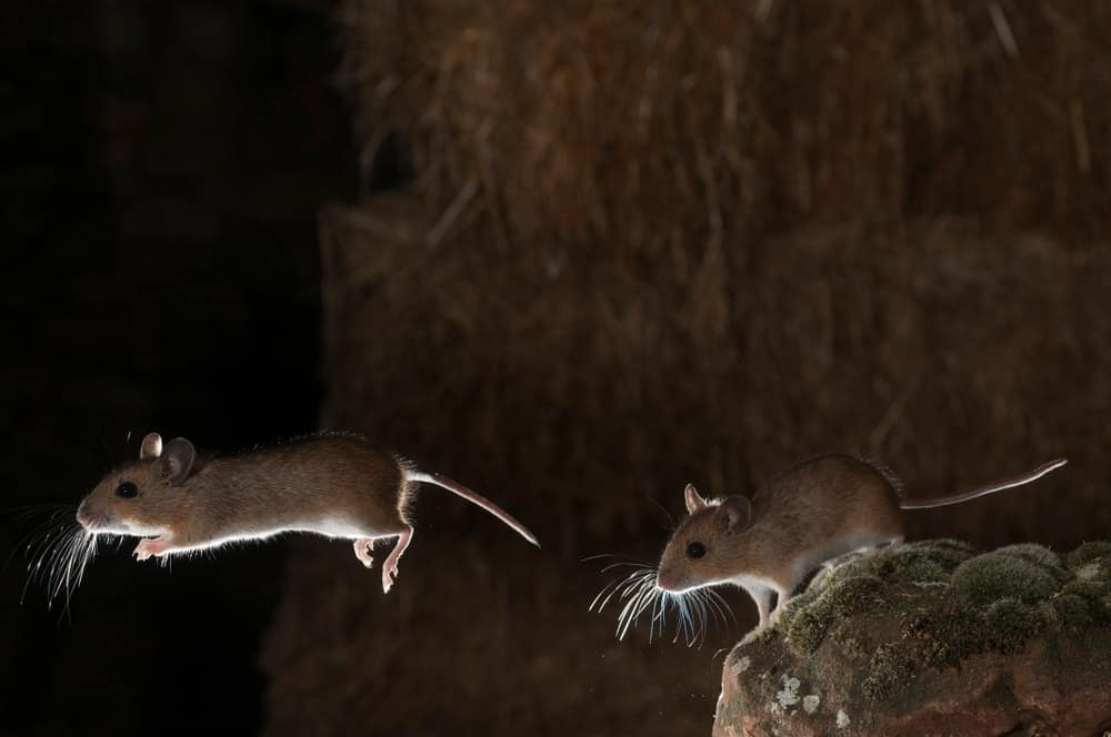 A pair of jumping mice in a barn.