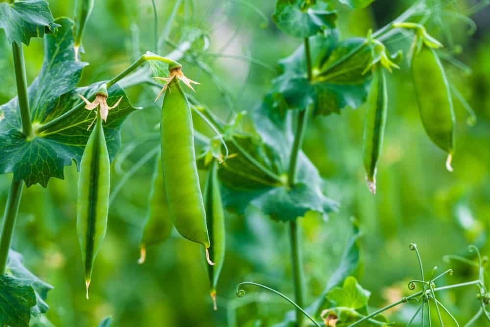A close-up view of green pea pods growing in a garden.