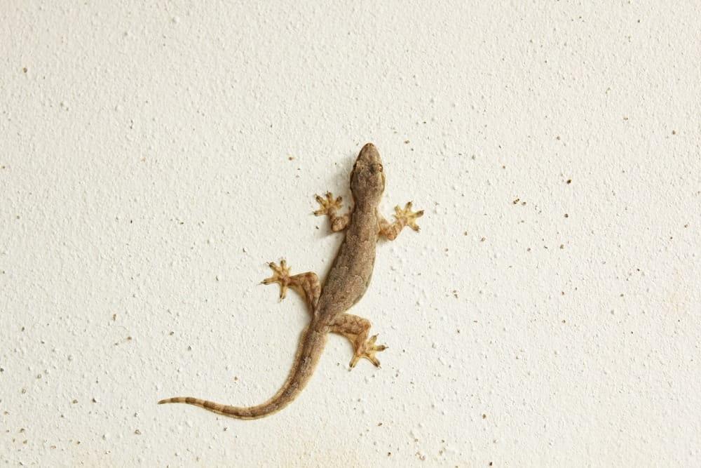 A house lizard on a beige textured wall.