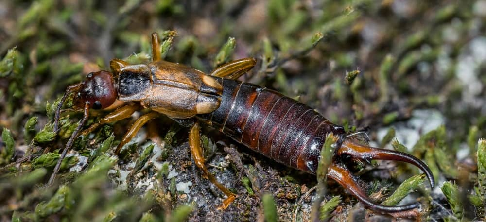 A close-up of an earwig on a mossy ground.