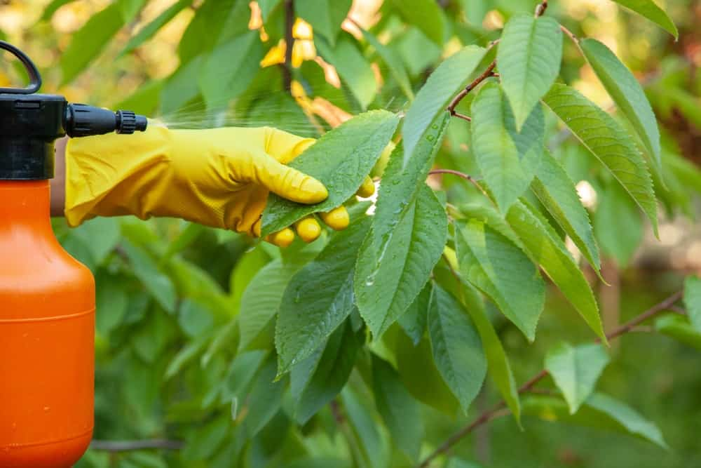 A farmer putting insecticide on a cherry plant.
