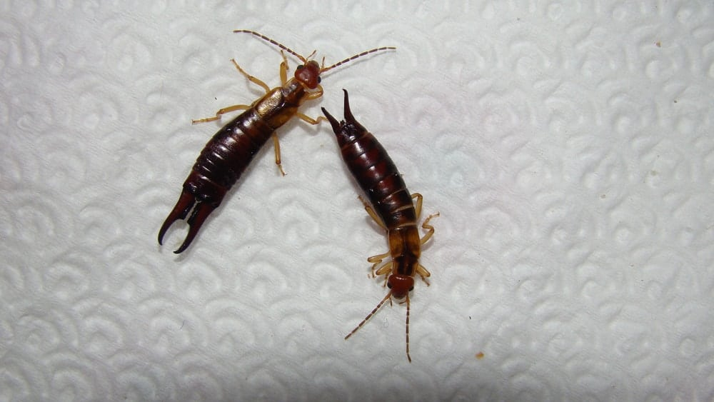 An earwig defending itself from another earwig with the use of its pincer.