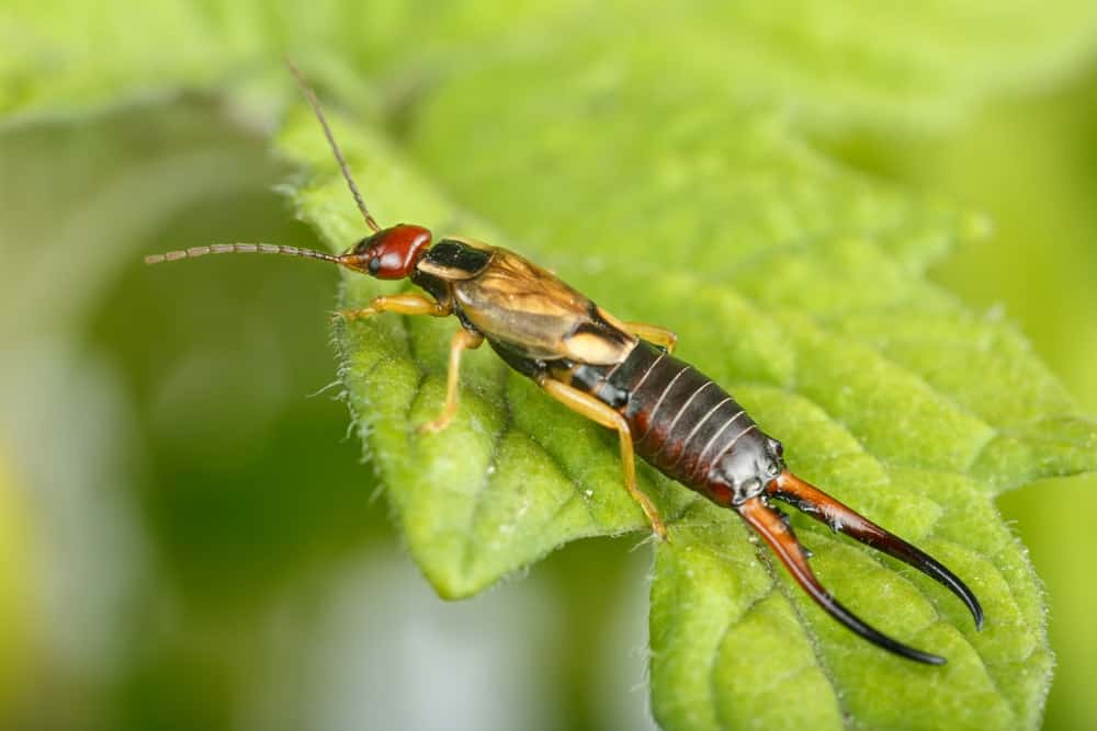 A close-up of an earwig on a tomato leaf.