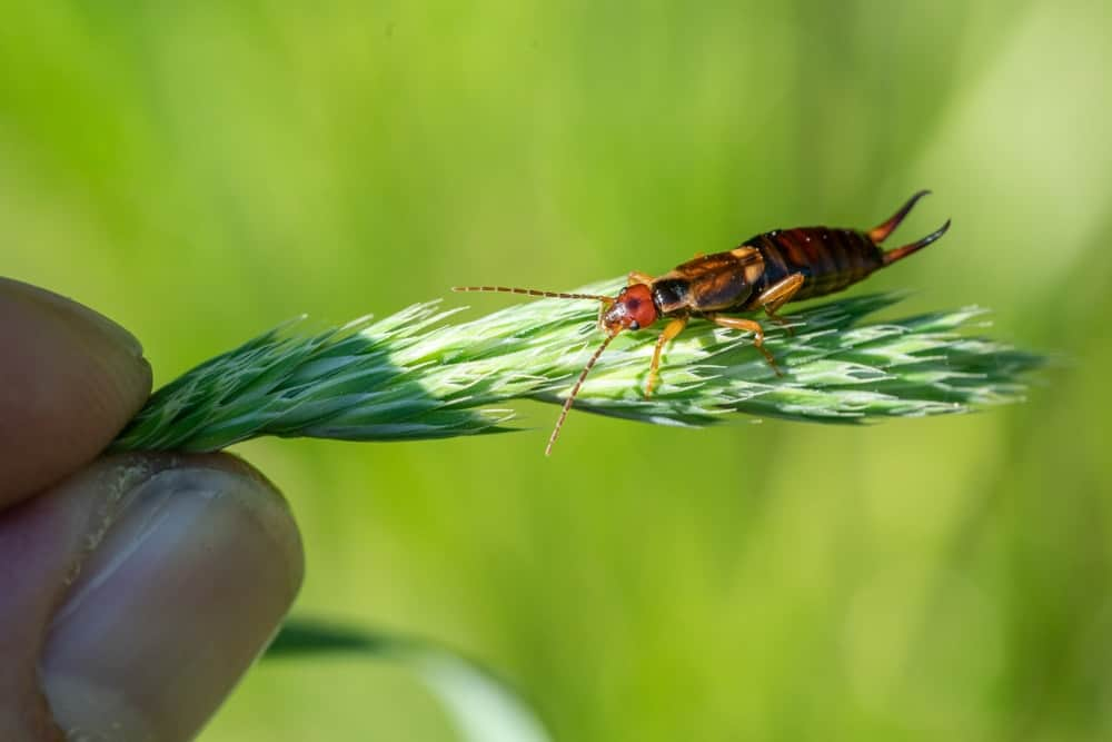 A small earwig resting on a blade of grass.