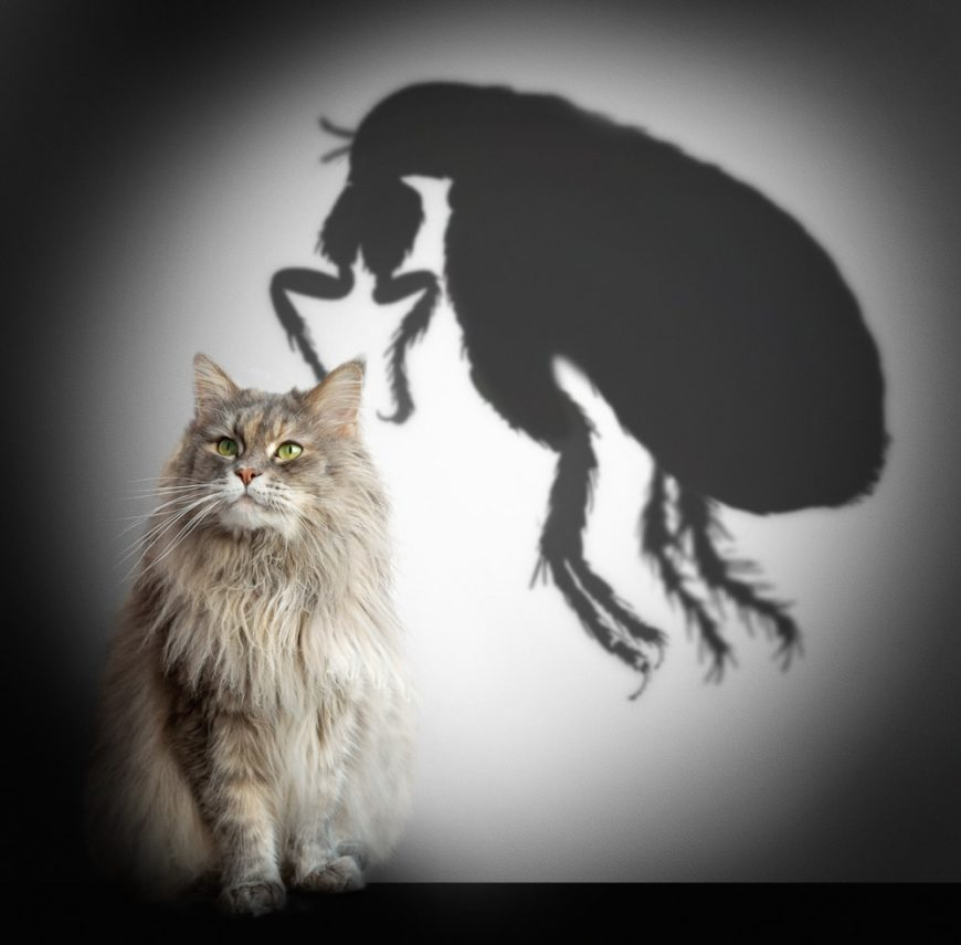 A visual representation of a house cat plagues by fleas.