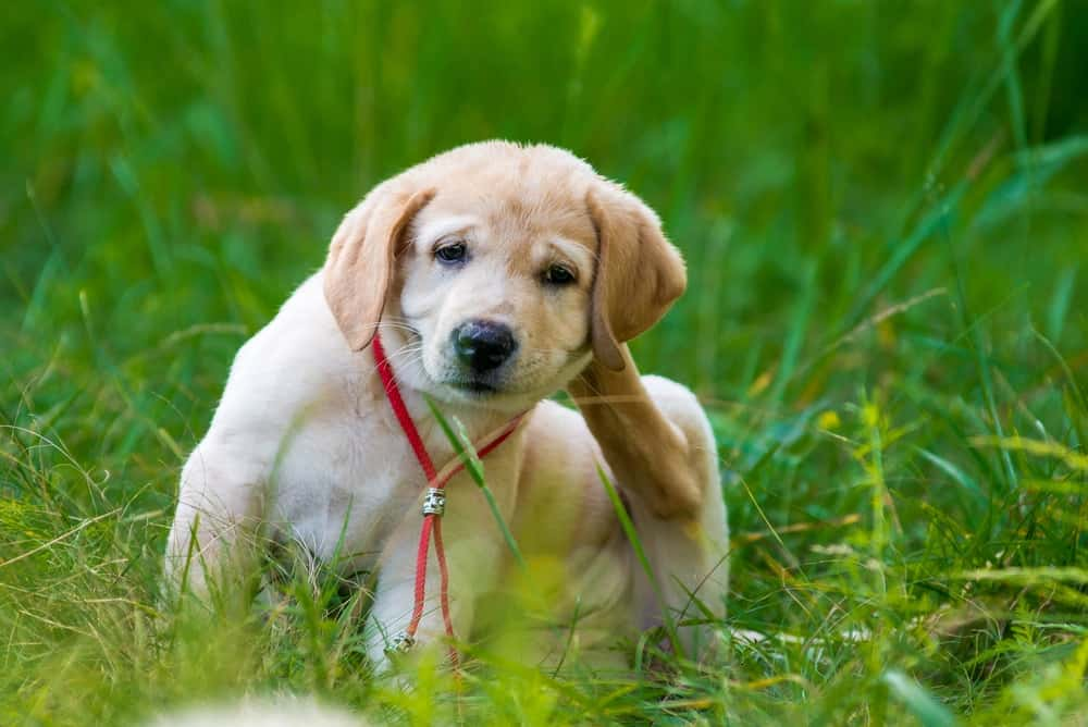 A golden retriever puppy scratching for fleas.