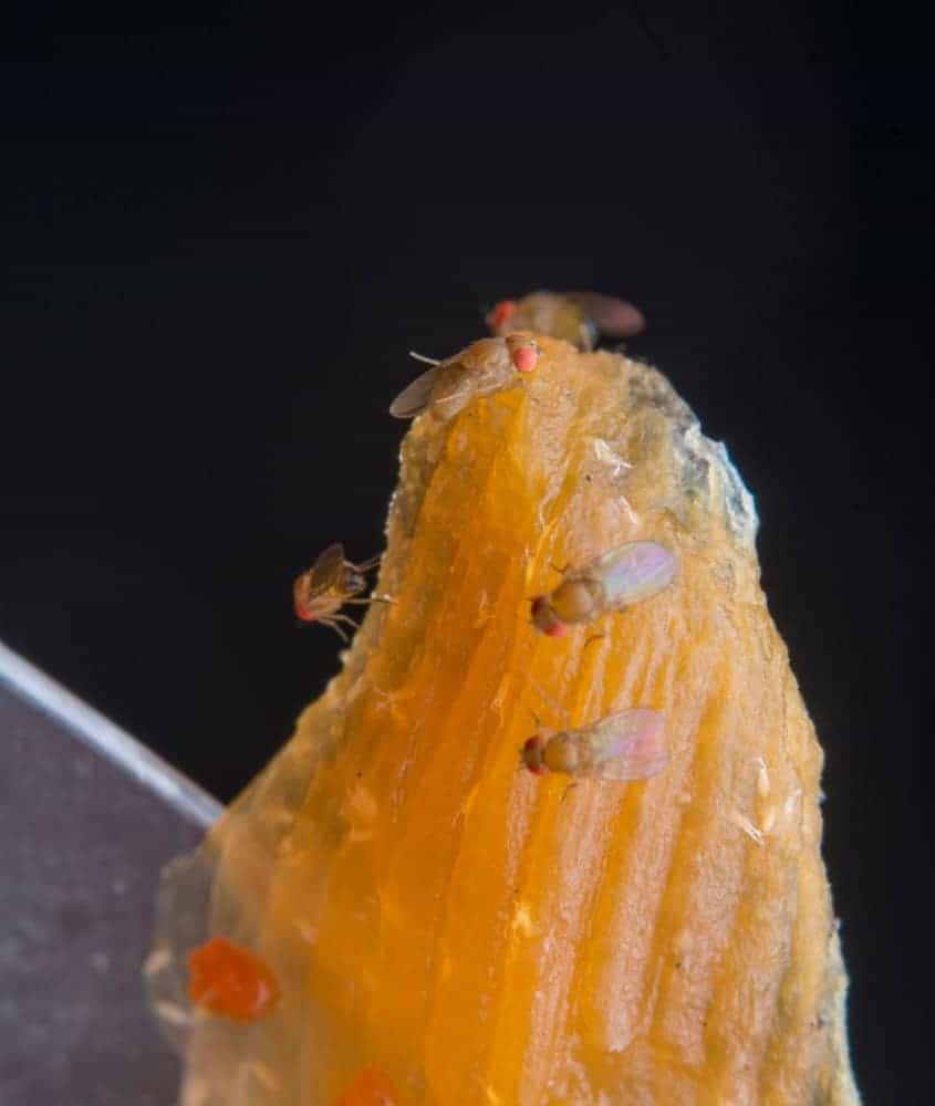 A close-up look at fruit flies on a rotting piece of fruit.