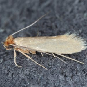 A close-up of a clothes moth on a concrete surface.