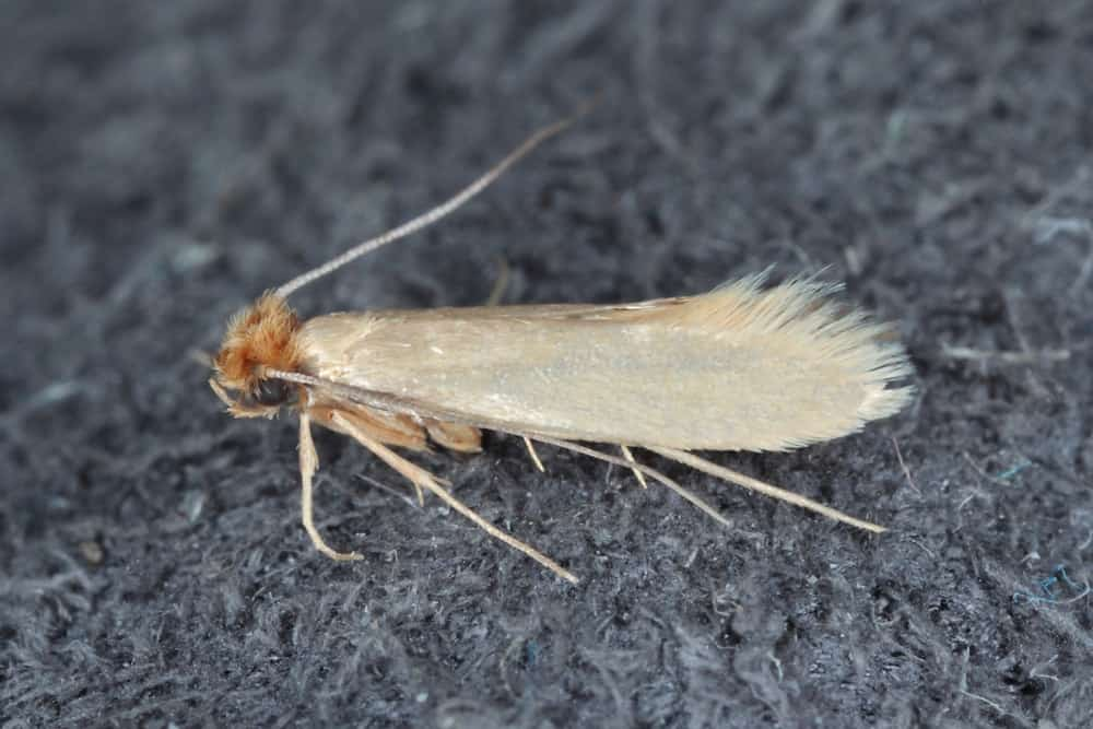 A close-up of a clothes moth on a gray fabric surface.