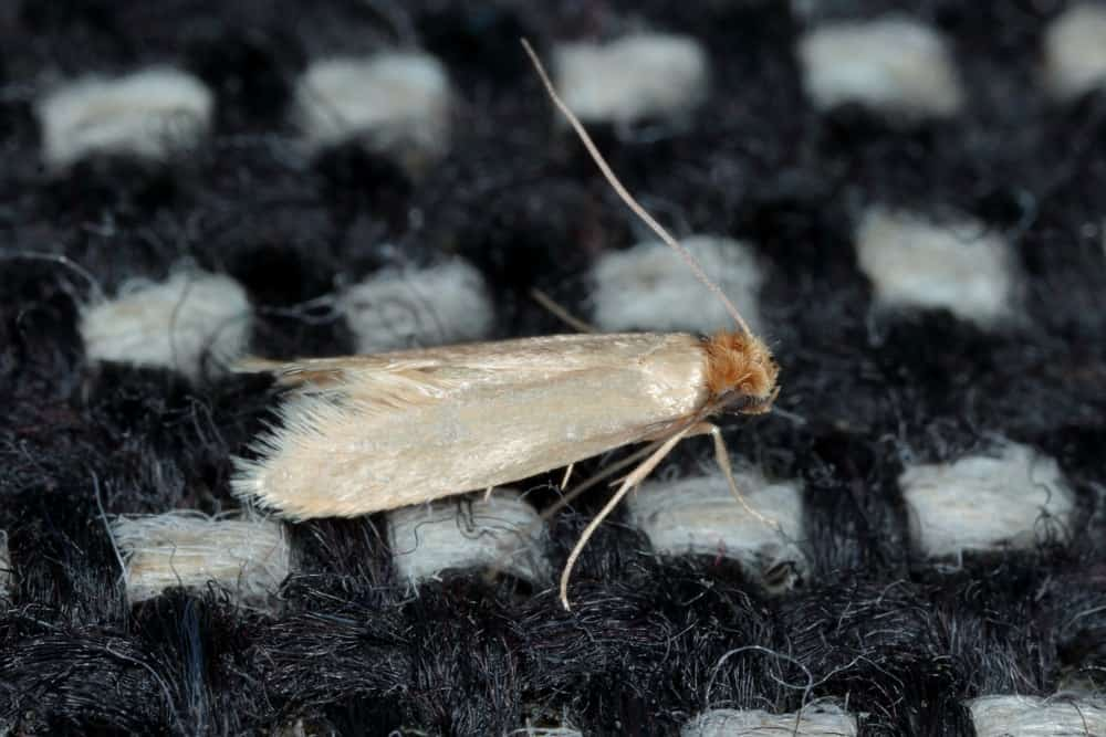 A beige clothes moth on a patterned black and white cloth.