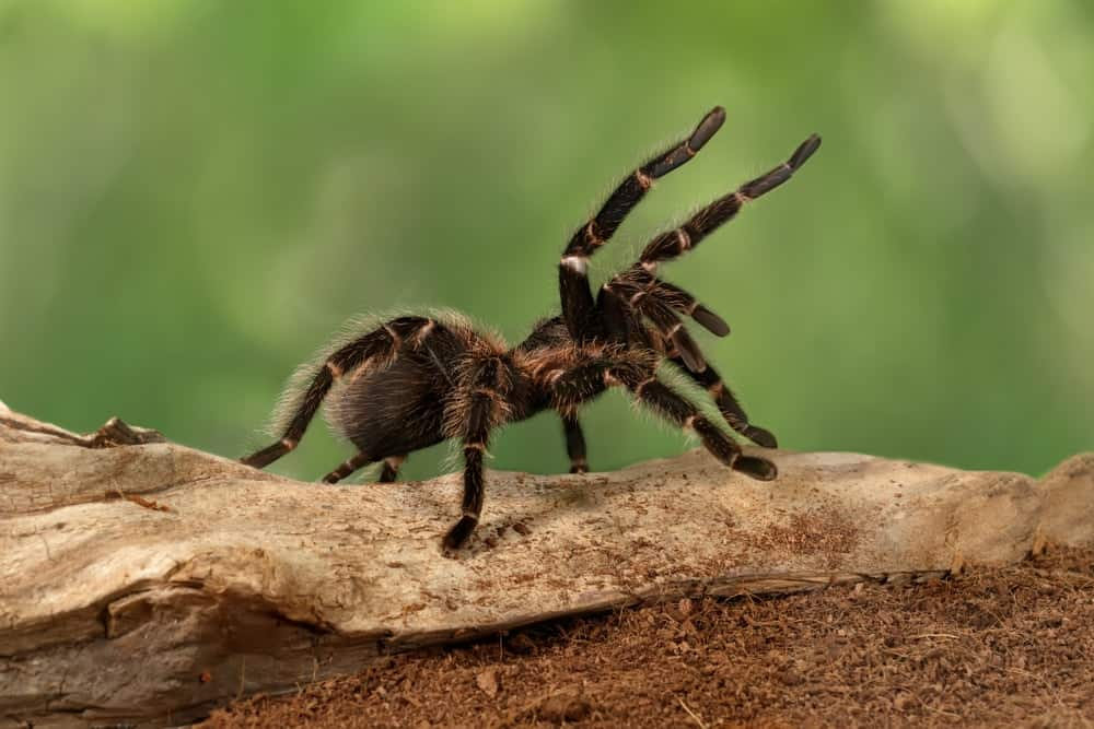 A close-up of a large hairy tarantula.