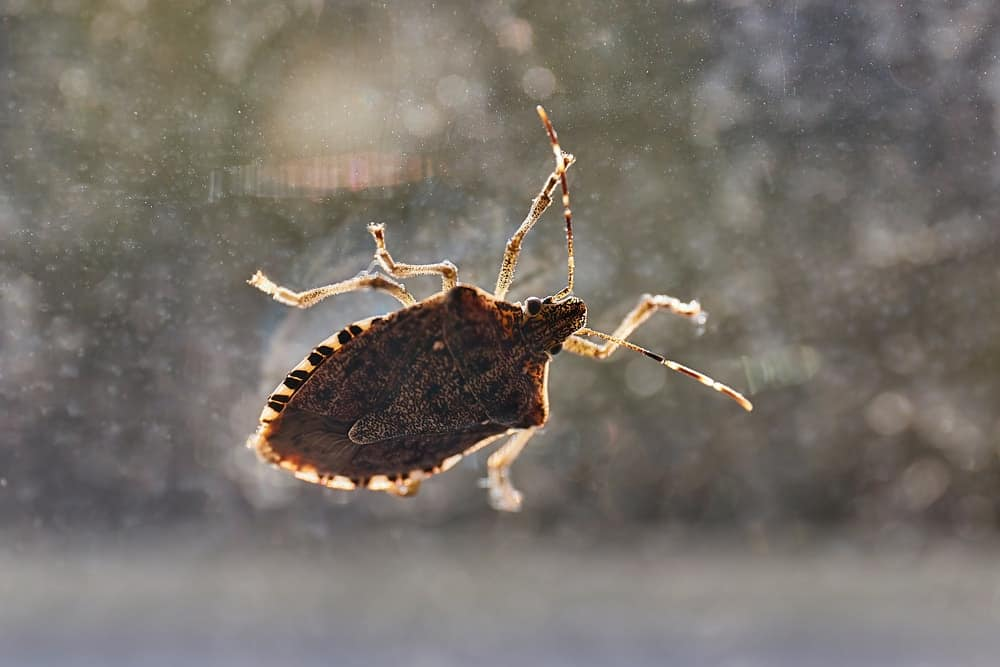 A close-up image of a stink bug on a glass window.