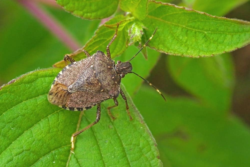 A close-up view of a stink bug on a leaf.