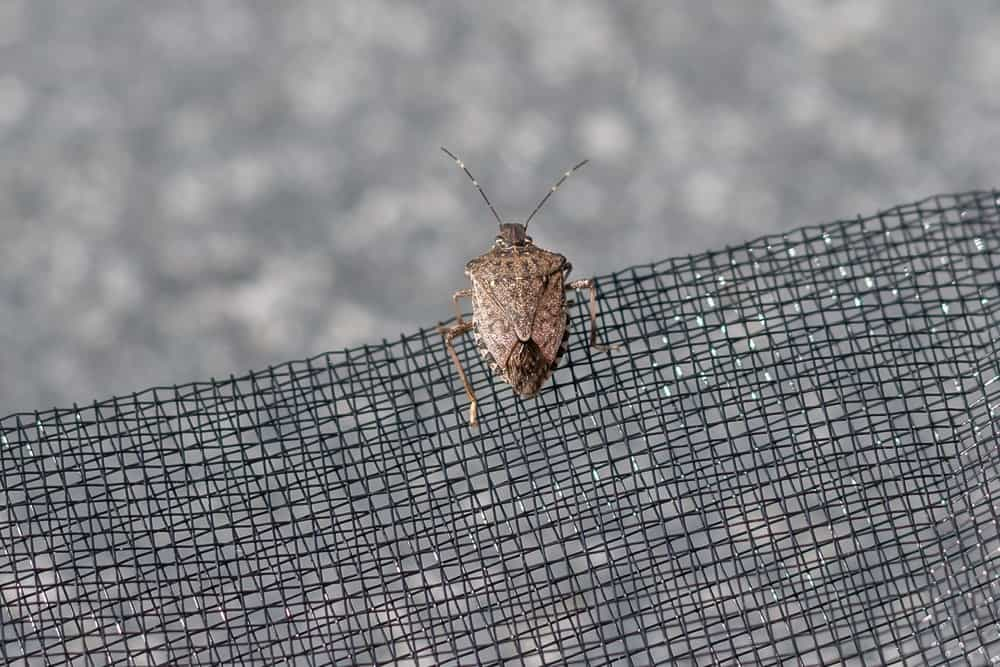 A stink bug on an insect net.