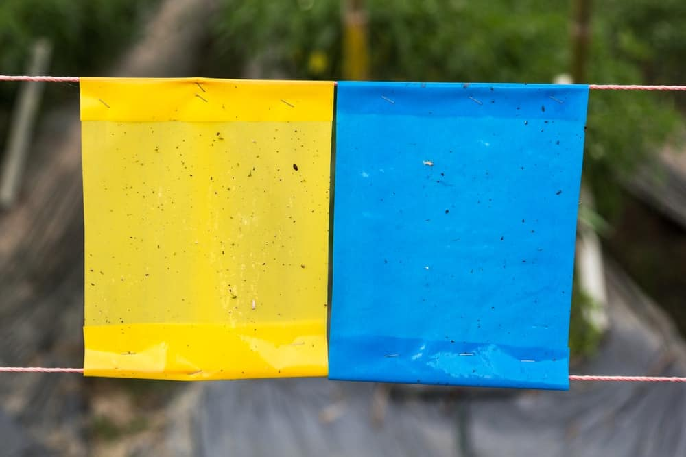 Yellow and blue sticky traps for insects.