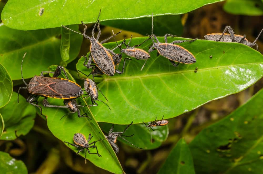 A bunch of stink bugs on a plant.