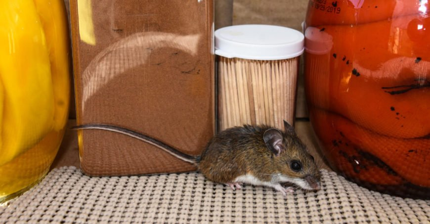 Mouse in the kitchen pantry