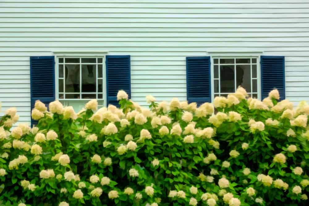 Green house exterior siding with a pair of shutter windows as seen from a hydrangea hedge.
