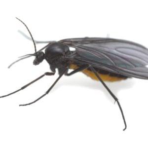 A close-up of a dark-winged fungus gnat.