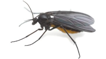 A close-up of a dark-winged fungus gnat.