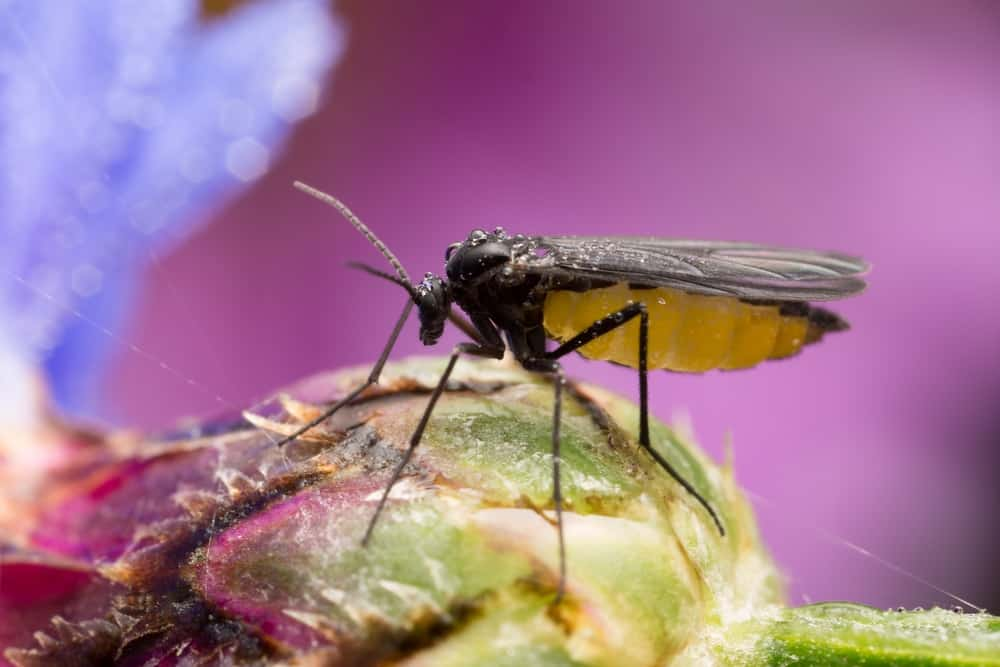 A close-up of a dark-winged fungus gnat on a flower bud.