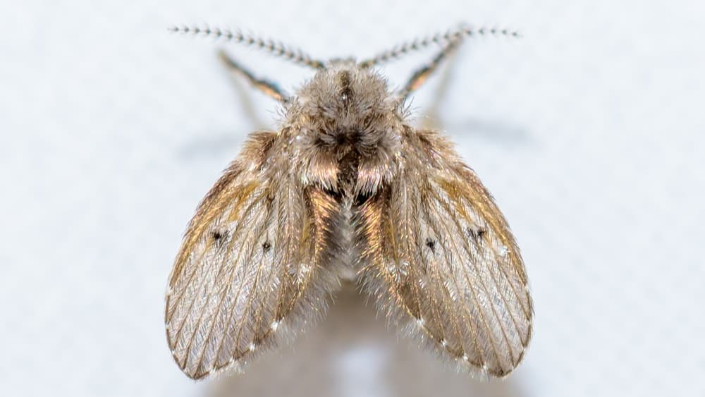 A close-up of a tiny brown furry drain fly.